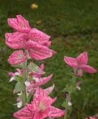 Broksalvia, Salvia horminum