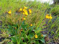 Tvillingtoffel, Calceolaria biflora