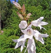 Vit nässelklocka, Campanula trachelium 'Alba'