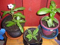 Catharanthus roseus, rosensköna