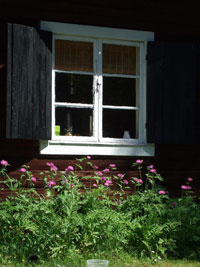 Strävklint, Centaurea dealbata