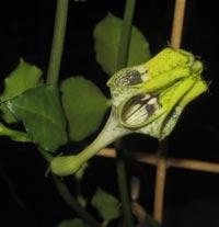 Fallskärmsranka, Ceropegia sandersonii