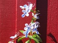 Blåvinge, Clerodendrum ugandense