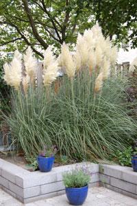 Pampasgräs, Cortaderia selloana