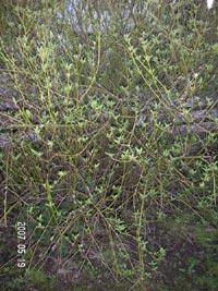 Gullkornell, Cosnus sericea 'Flaviramea'