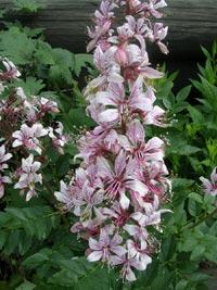 Mose brinnande buske, Dictamnus albus