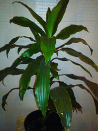 Dracaena fragrans, doftdracena