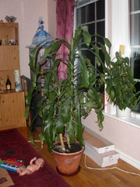 Doftdracena, Dracaena fragrans