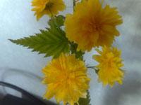 Dubbelblommande kerria, Kerria japonica