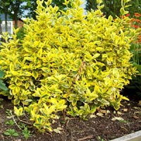 Euonymus fortunei 'Gold Prince'