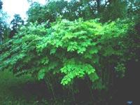 Jätteslide, Fallopia sachaliensis