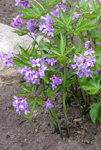 Fingertandrot, Cardamine pentaphyllos