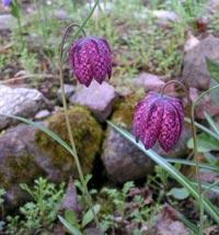 Kungsängslilja, Fritillaria meleagris