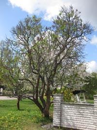 Gammalt syrenträd