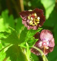 Geranium phaeum, brunnäva