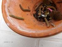 Gröna larver