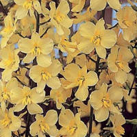 Angående gul riddarsporre