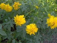 Rudbeckia laciniata var. hortensia, gullboll