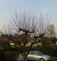 Hamlat äppleträd