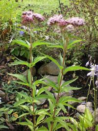 Hampflockel, Eupatorium cannabium