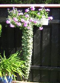 Brokbladig jordreva, Glechoma hederacea 'Variegata'