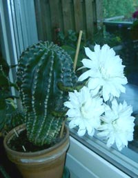 Echinópsis