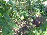 Vaxklocka, Kirengeshoma palmata