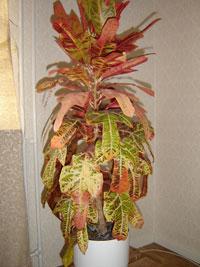 Kroton, Codiaeum variegatum