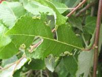 Pilbladstekelns larver