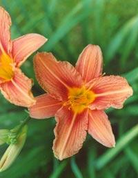 Daglilja, Hemerocallis