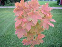 Vår lönn bruna blad