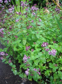 Mejram, Origanum vulgare