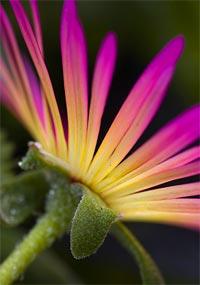 Mesembryanthemum edule