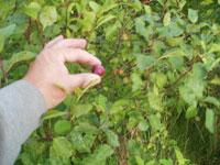 Körsbärsplommon, mirabeller, Prunus cerasifera