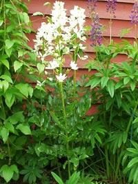Mose brinnande buske, Dictamnus albus f. albiflorus
