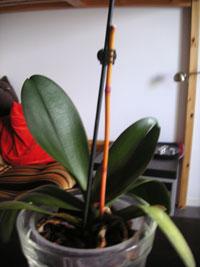 Orkidéstjälkarna vissnar