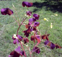 Rödbrun klöveroxalis, Oxalis fontana var. rufa