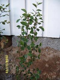 Häckoxbär, Cotoneaster lucidus