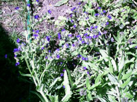 Oxtunga, Anchusa officinalis