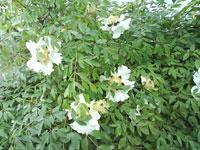 Buskpion, Paeonia suffruticosa