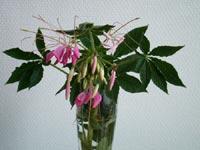 Paradisblomster, Cleome hassleriana