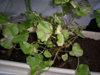 Ledsna omplanterade pelargoner