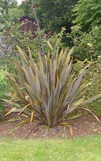 Phormium tenax, nyzeeländskt lin