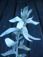 Svåridentifierad växt