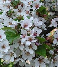 Prunus serrulata 'Holly Jolivette'
