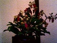 Radbandskalankoe, Bryophyllum fedschenkoi