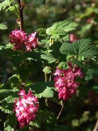 Ribes sanguineum, rosenrisp
