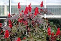 I ett rör kan den pampiga ricinplantan växa.