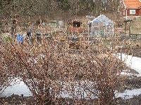 Risig vinbärsbuske