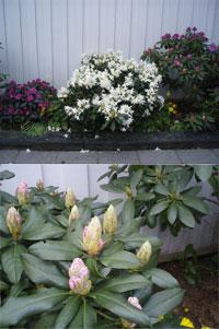 Fel färg på rhododendronblommorna